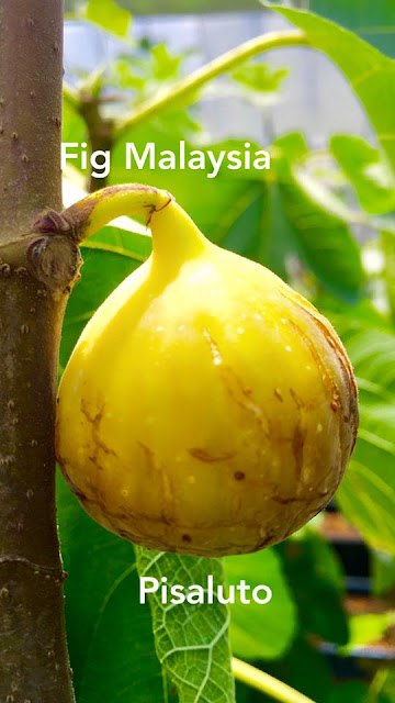 PISALUTO Figs