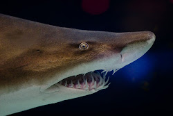 Sand Tiger Shark