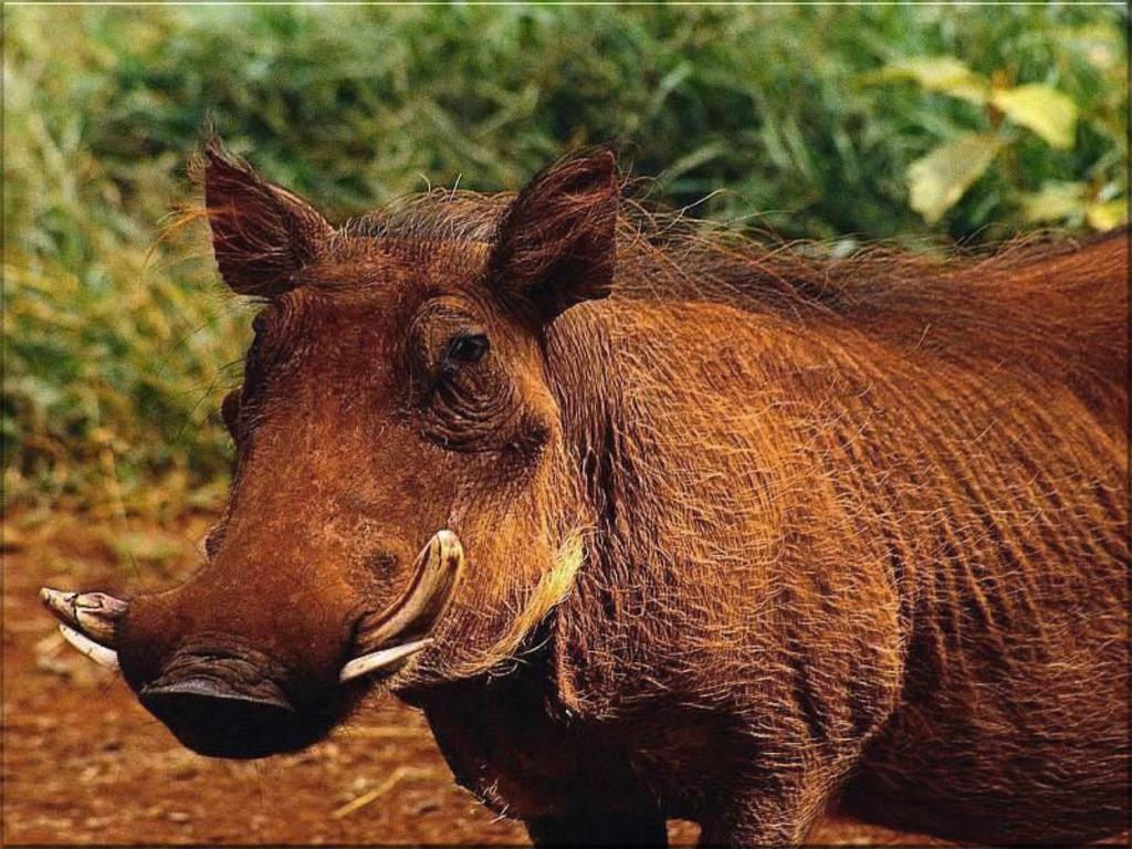 warthog wallpapers fun animals wiki videos pictures