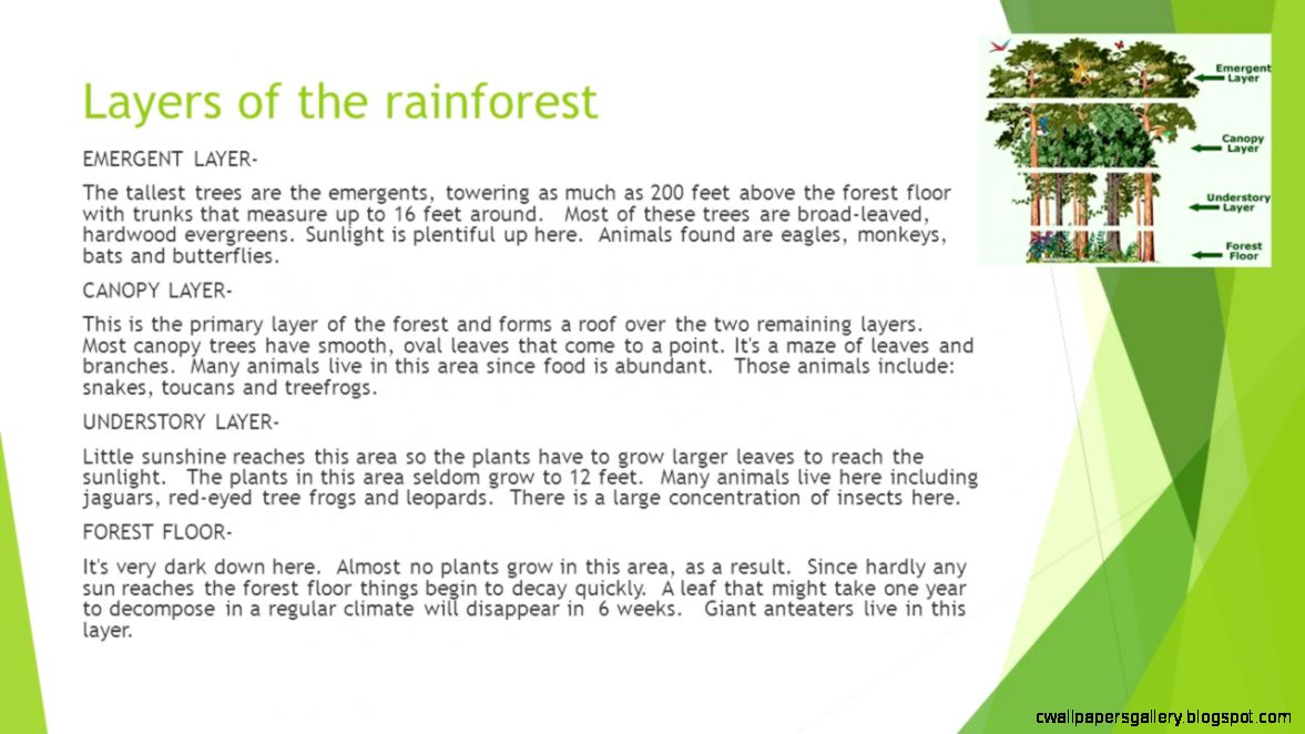Rainforest Facts Layers of the rainforest EMERGENT LAYER  The