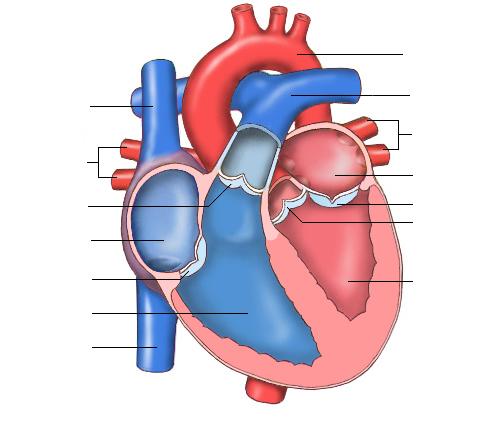 Taller N°9: Las Cavidades del Corazón - 2°BACH | ANATOMIA 5 & 6