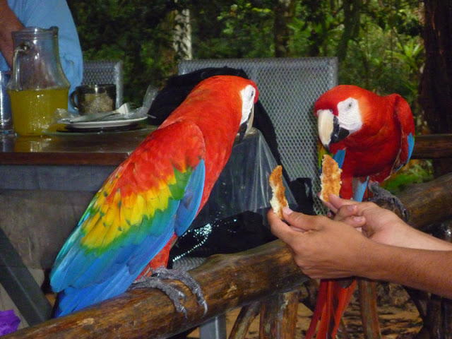 Costa Rican pair of Scarlet Macaws