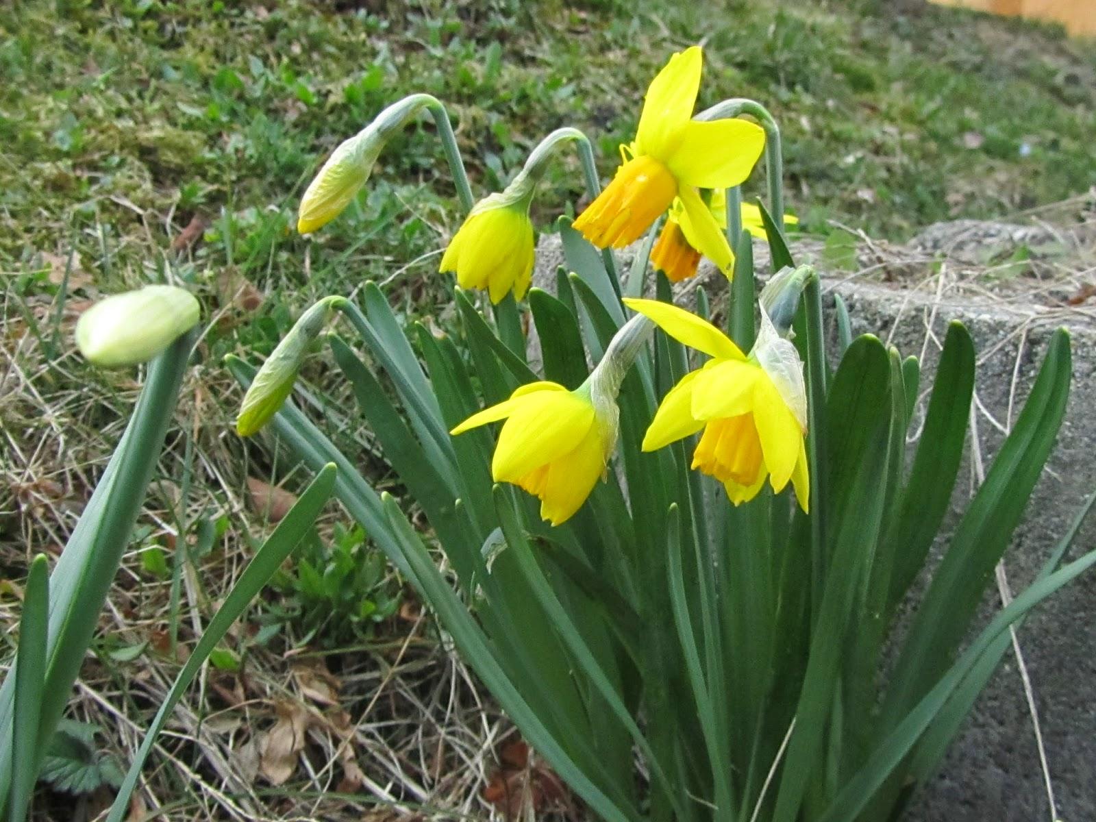 Narcissus narcisi e il risveglio della primavera come - Bulbi estivi quando piantarli ...