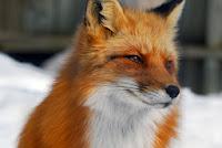 http://www.strangehistory.net/blog/wp-content/uploads/2013/10/fox.jpg