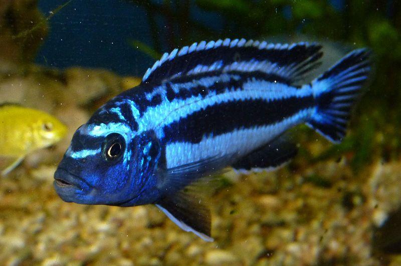 Boehmoeh: Blue johanni cichlid, Maingano - Melanochromis cyaneorhabdos ...