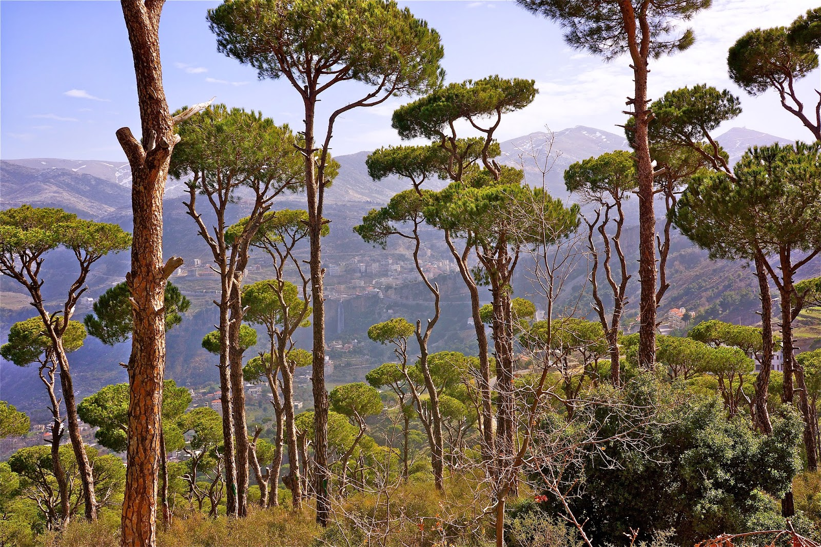 Picture of umbrella pines near Jezzine, South Lebanon.