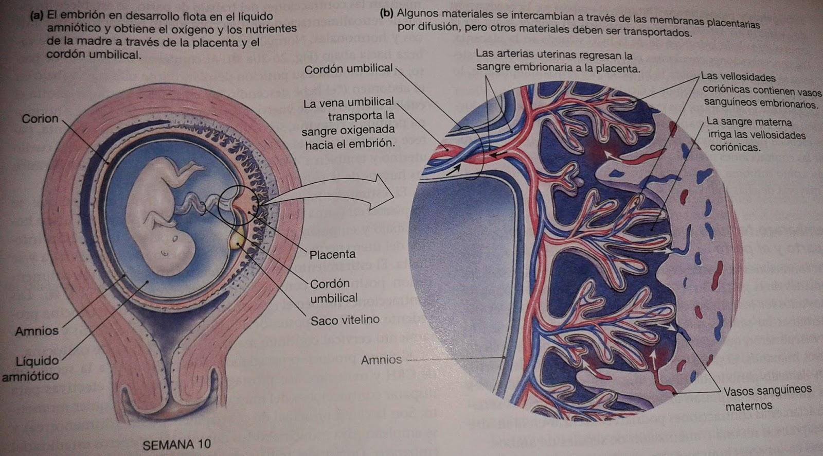 Fisiología y Biofísica: Cordón umbilical