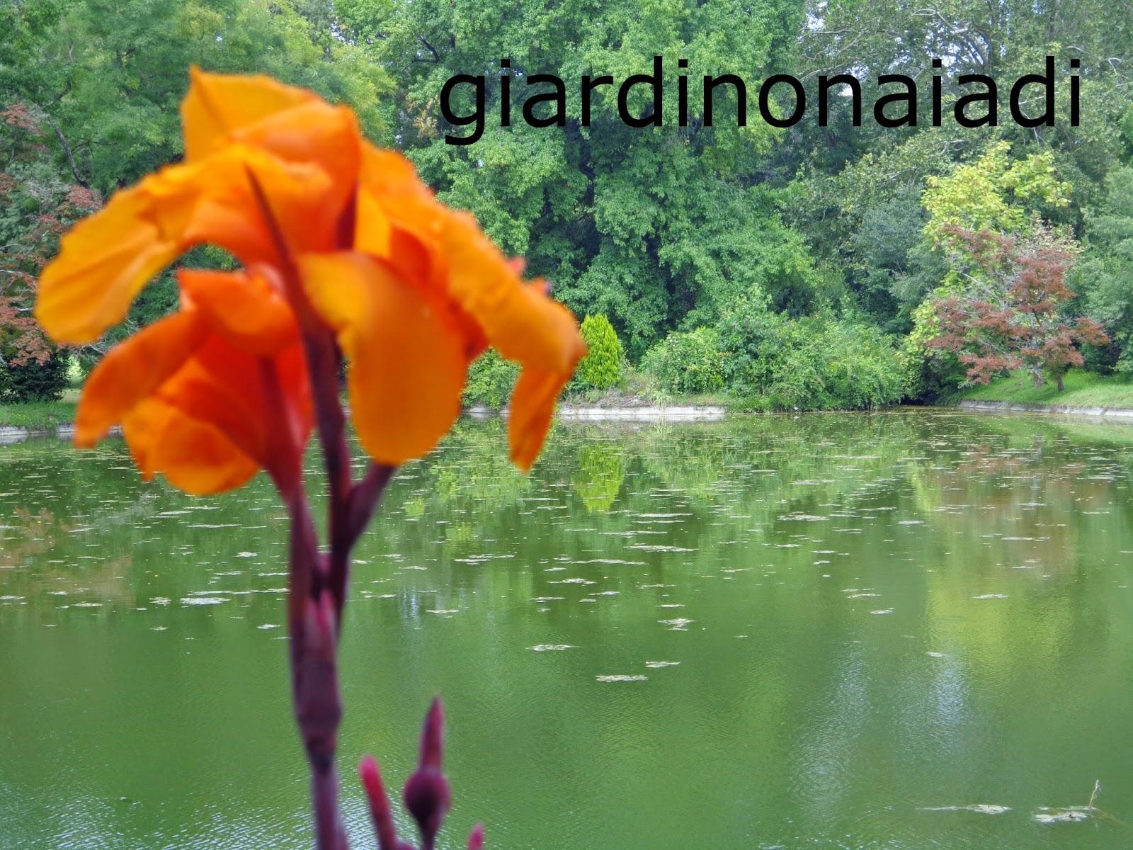 Il giardino delle naiadi canna indica fioritura tropicale for Fiori acquatici