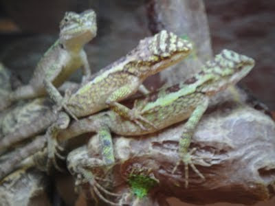 three lizards wordless