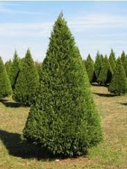 Merry Christmas Tree Farm: Christmas Trees