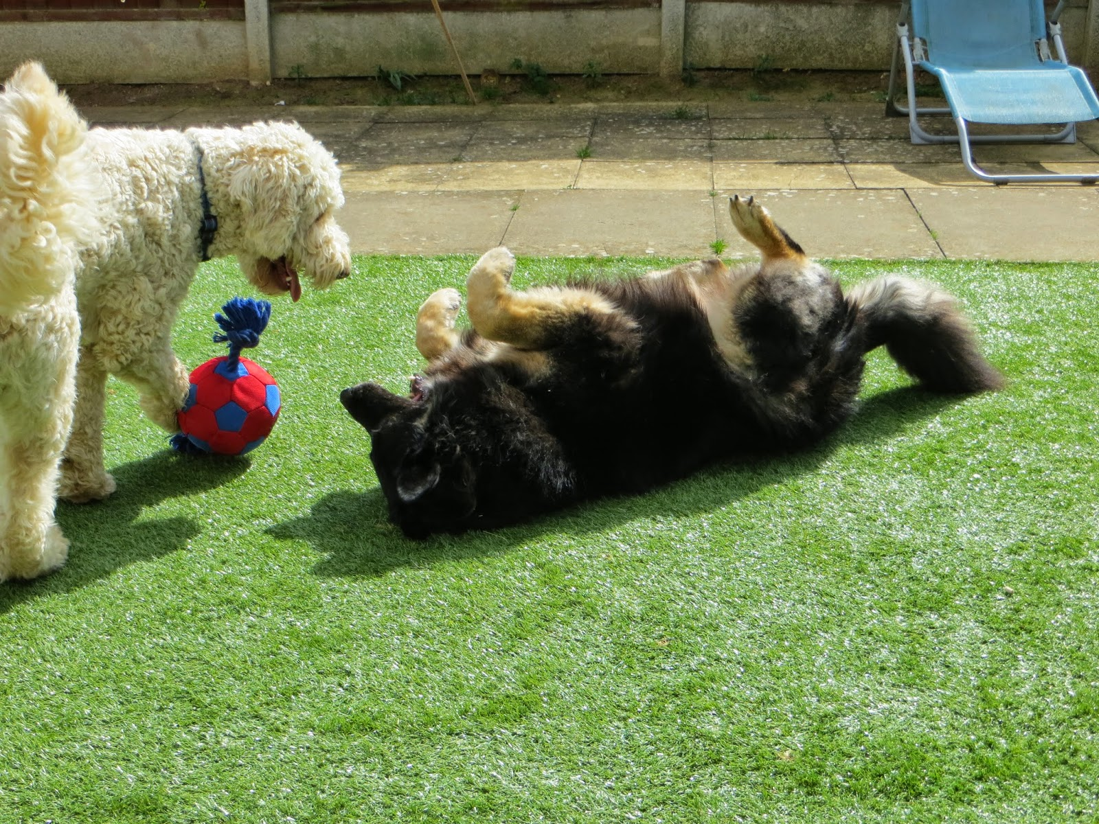 Suny and Trojan playing in the garden