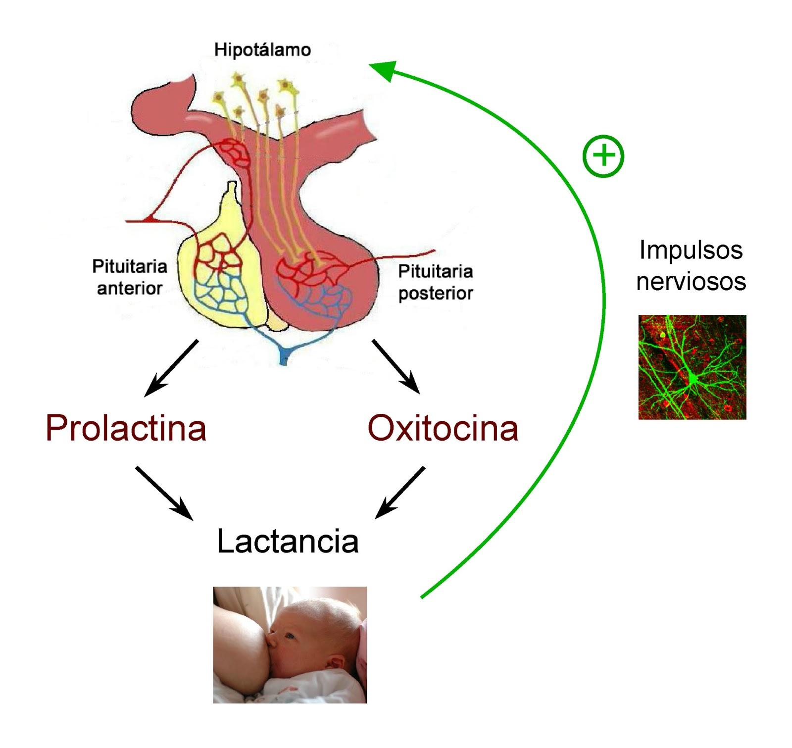 La succión del pezón provoca impulsos nerviosos que inducen la secreción de prolactina y oxitocina