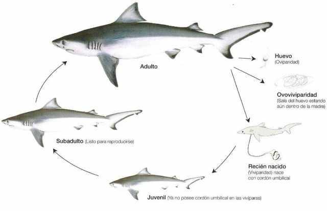 A Sharks Life Cycle