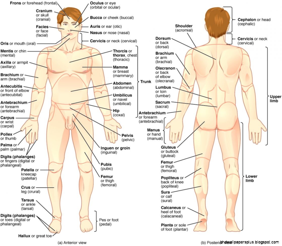 Anatomical terminology   Wikipedia the free encyclopedia
