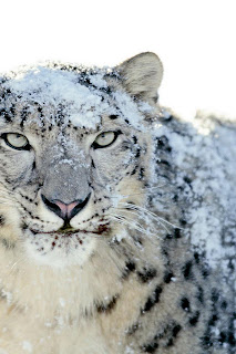 white tiger iphone
