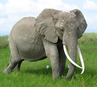 long tusk elephant