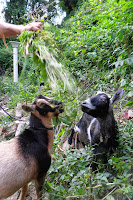 Two Nigerian Dwarf Goats eat weeds