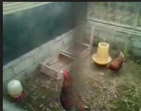 kandang indukan ayam kampung