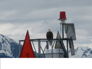 Resurrection Bay - Bald Eagle