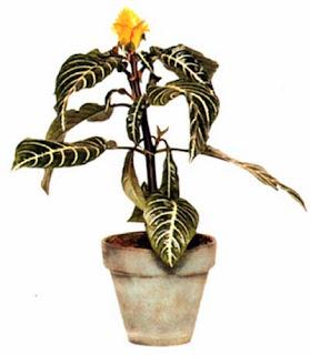 Афеландра оттопыренная (Aphelandre squarrosa) требует хорошего освещения, но не любит прямого солнца.