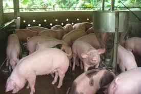 Chỉ số FCR rất quan trọng trong chăn nuôi.