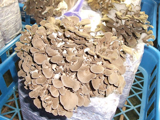Especially maitake mushroom, it contains lots of useful nutrients such as calcium, fiber and vitamins, amino acids and Niacin.