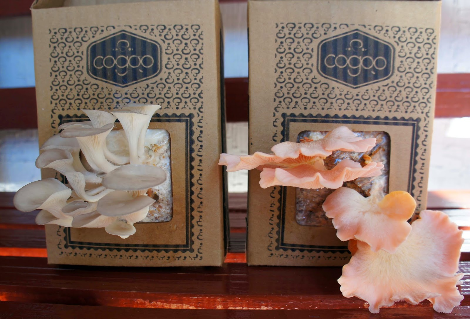 Cogoo: cultivando cogumelos em casa