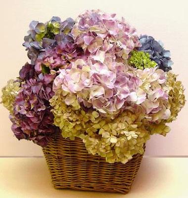 Angelottes hortensias para el verano - Como cuidar una hortensia de exterior ...