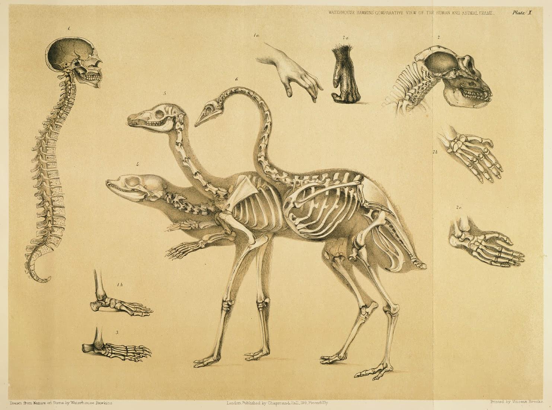 Benjamin W. Hawkins Comparative Osteology Illustrations   BellaBonez
