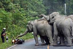 Diamuk Kawanan Gajah, Pengendara Motor Minta Diampuni