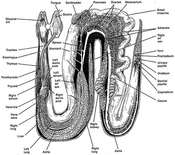 dokter hewan  anatomi ular