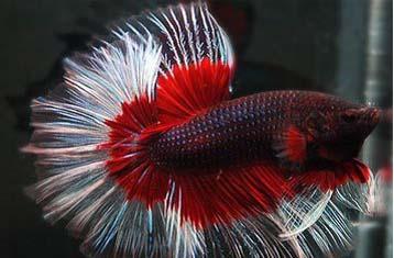 Jenis Jenis Ikan Hias Air Tawar Paling Populer