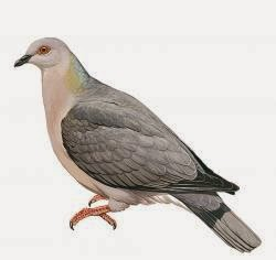 Ring tailed pigeon