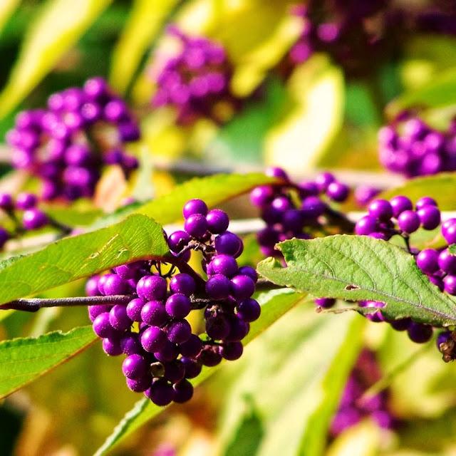 http://argolith.deviantart.com/art/Purple-Berries-101176211