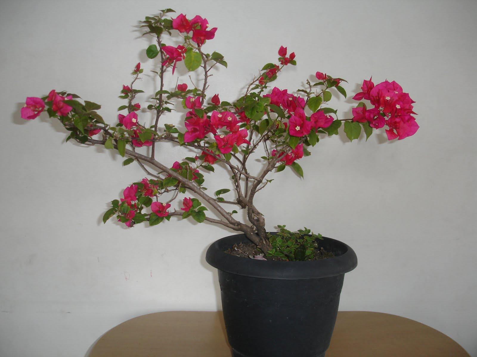 manaca de jardim em vaso ? Doitri.com