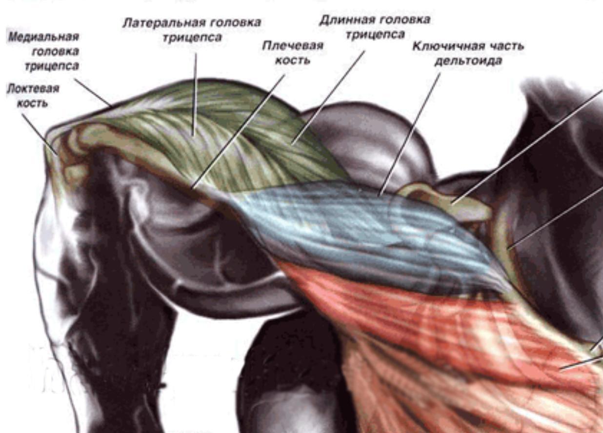 Таз человека анатомия таза строение функции картинки