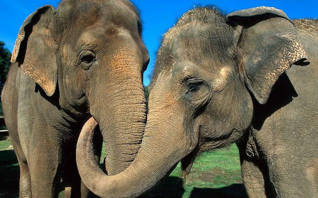 Foto van twee olifanten aan het knuffelen