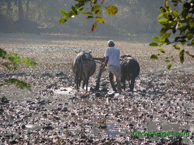 farmer ploughing field karjat