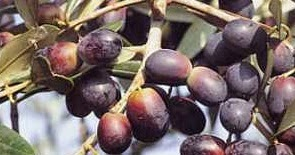 Leccino olive variety produces a sweet, delicate oil with a cinnamon-spice note