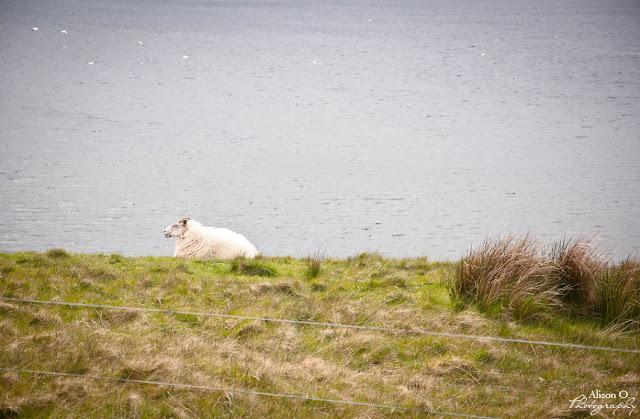 Moutons Isle of Skye Scotland Écosse