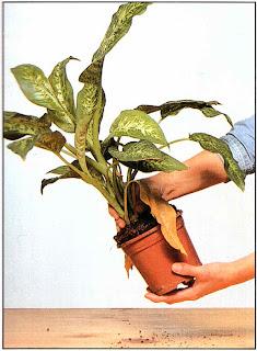 Выньте растение из горшка