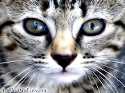 Best Cat Face Wallpaper. Mohammad Nizar Wednesday