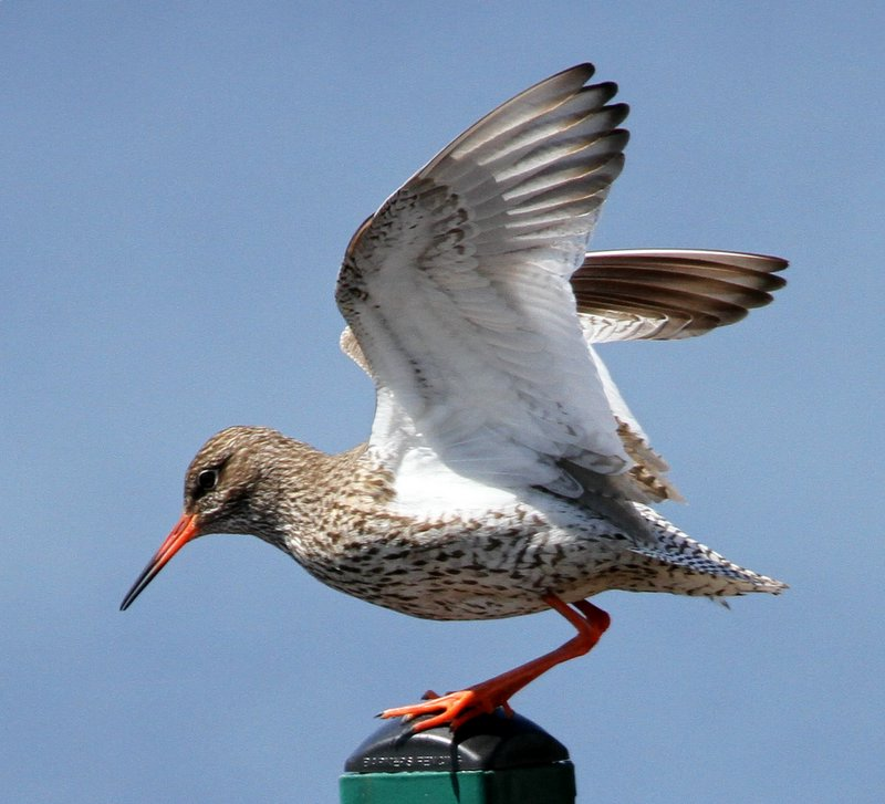 Fly Flatts Redshank
