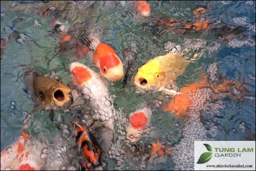 Cá Koi Nhật của TungLam Garden, TungLam Garden bán cá Koi Nhật