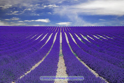 A beautifull Lavender field in France