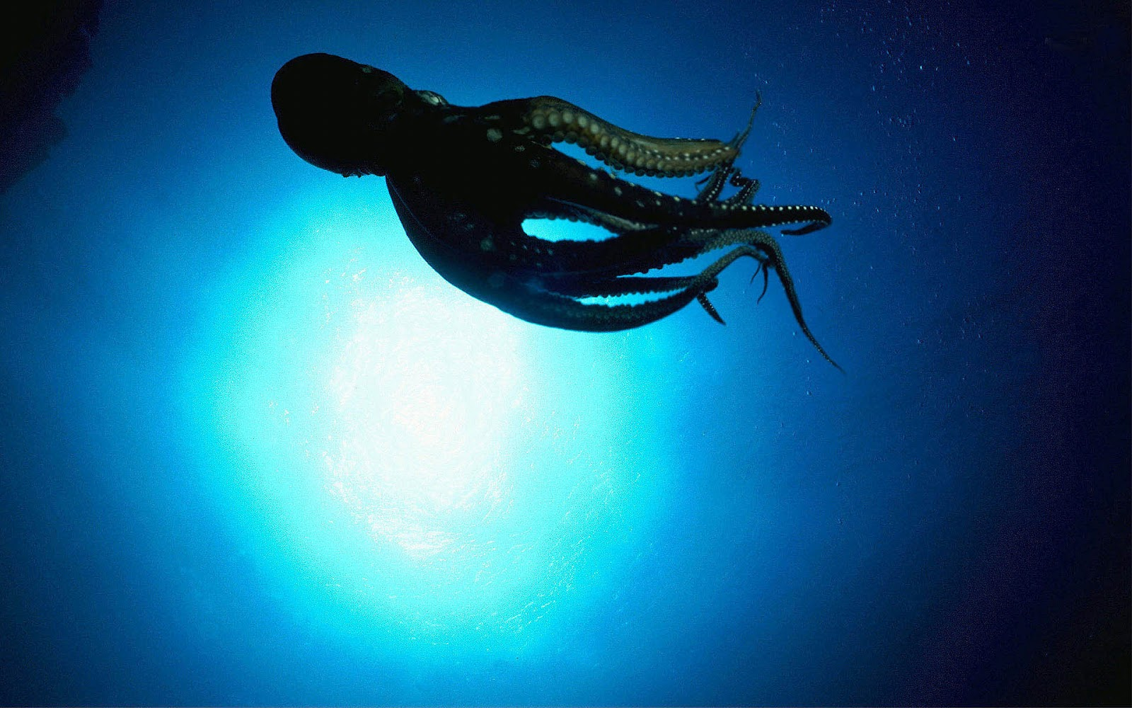 hd-octopus-wallpaper-with-the-picture-of-a-octopus-swimming-underwater    Underwater Octopus