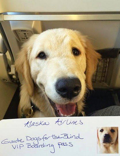 Guide dog puppy Jolene (Golden Retriever) smiles while her raiser holds up her Alaska Airlines Guide Dogs for the Blind VIP Boarding Pass