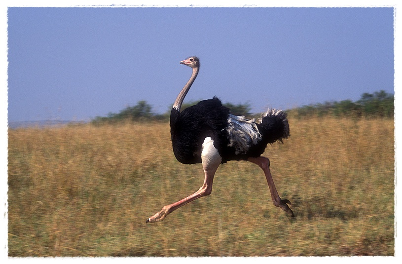 Gambar Burung Unta | Dunia Binatang
