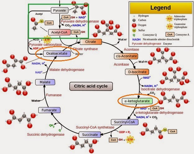 Metabolic Theory of Cancer: Cellular Energy Generation 2 - Mighty Mitochondria