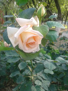 Half Open Cream Colored RosesWhite + Yellow MixeD ~ Real Roses Pictures .